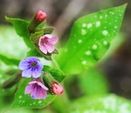 Flores y brotes de las sombras rosadas, azules y rojas de los officinalis de Pulmonaria de la planta Imagen de archivo libre de regalías