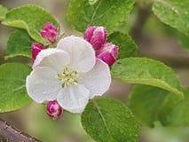 Flores y brotes de un Apple-árbol Imagen de archivo libre de regalías