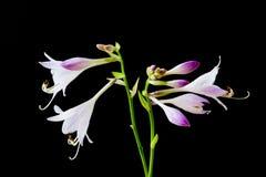 Flores y brotes del Hosta imagen de archivo libre de regalías