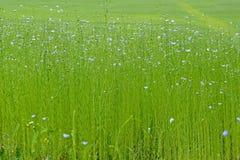 Flores y brotes del lino fotografía de archivo