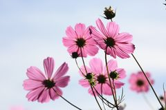 Flores y brotes hermosos del cosmos Imagen de archivo libre de regalías