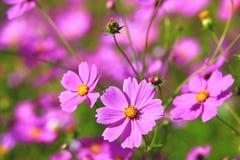 Flores y brotes hermosos del cosmos Imagenes de archivo