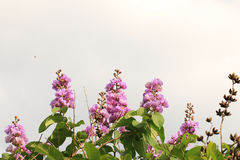 Flores y brotes púrpuras Foto de archivo libre de regalías