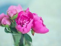 Flores y brotes rosados hermosos de la peonía contra fondo borroso Imagenes de archivo
