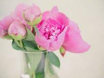 Flores y brotes rosados hermosos de la peonía contra fondo borroso Foto de archivo libre de regalías