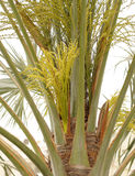 Flores y brotes verdes hermosos en palmera de la fecha Fotos de archivo libres de regalías
