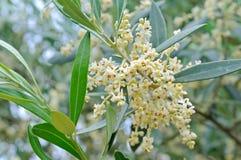 Flores y brotes verdes olivas Fotos de archivo libres de regalías