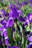 Flores y brotes violetas del iris barbudo Imagenes de archivo