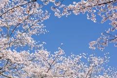 Flores y cielo de cereza Imágenes de archivo libres de regalías