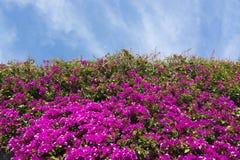 Flores y cielo rosados de la buganvilla Imagen de archivo