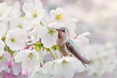 Flores y colibrí de cereza Fotos de archivo libres de regalías