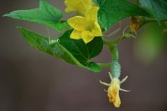 Flores y frutas del pepino producidas en el huerto imagen de archivo
