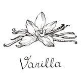 Flores y habas hermosas de la vainilla Dé el ejemplo exhausto del vector de los bosquejos en el fondo blanco en estilo del vintag ilustración del vector