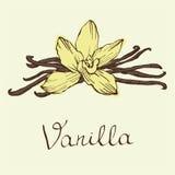 Flores y habas hermosas de la vainilla Dé el ejemplo exhausto del vector de los bosquejos en el fondo blanco en estilo del vintag Imágenes de archivo libres de regalías