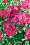 Flores y hojas de Groundsel Imágenes de archivo libres de regalías