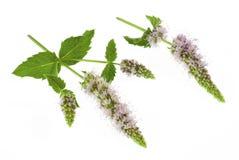 Flores y hojas de la hierbabuena aisladas en blanco Imagenes de archivo