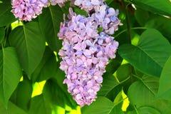 Flores y hojas de una lila floreciente hermosa de la primavera imagenes de archivo