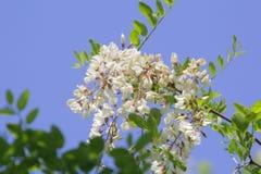 Flores y hojas del árbol de langosta con las abejas Foto de archivo libre de regalías