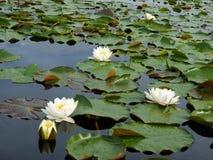 Flores y hojas del agua-lirio blanco Foto de archivo