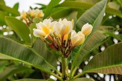 Flores y hojas del Frangipani Imagen de archivo libre de regalías