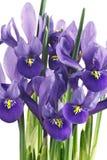 Flores y hojas del iris Fotografía de archivo
