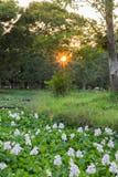Flores y hojas del jacinto de agua en la charca durante puesta del sol imagen de archivo libre de regalías