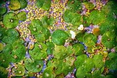 Flores y hojas del lago Foto de archivo