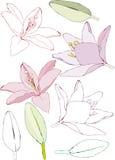 Flores y hojas del lirio Imagen de archivo