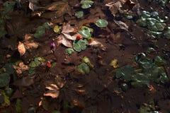 Flores y hojas en fondo vergonzoso de la charca Imagenes de archivo