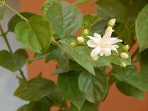 Flores y hojas hermosas del jazmín fotografía de archivo