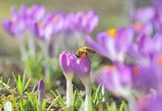 Flores y Honey Bee del azafrán Imagen de archivo