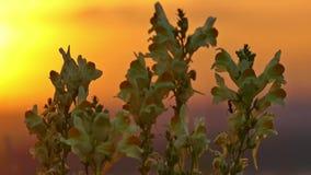Flores y hormiga amarillas en la salida del sol almacen de video
