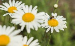Flores y las abejas Imágenes de archivo libres de regalías