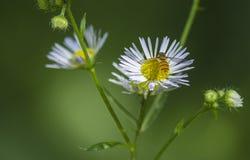 Flores y las abejas Fotos de archivo libres de regalías