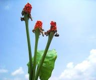 Flores y licencia del Alocasia en el cielo azul Fotos de archivo libres de regalías