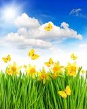Flores y mariposas de los narcisos en hierba verde Foto de archivo libre de regalías