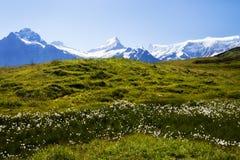 Flores y montañas alpinas en Suiza Foto de archivo