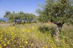 Flores y olivos coloridos en primavera cerca del mar azul encendido Foto de archivo libre de regalías
