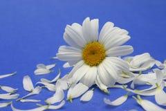 Flores y pétalos de la margarita Fotos de archivo libres de regalías