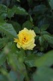 FLORES Y PLANTAS DE ROSE fotografía de archivo