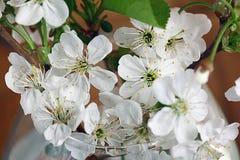 Flores y ramitas de la cereza en una madera Imagen de archivo libre de regalías