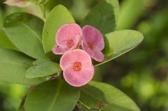 Flores y rocío rosados de la mañana Foto de archivo libre de regalías