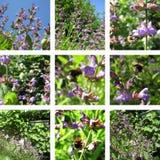 Flores y sabio azules Fotografía de archivo