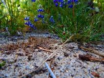 Flores y señora azules Bugs del altramuz salvaje fotos de archivo libres de regalías