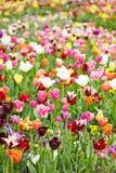 Flores y tulipanes coloridos en un campo Foto de archivo