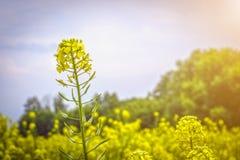 Flores y vainas de la mostaza en el campo, contra el cielo Fotografía de archivo