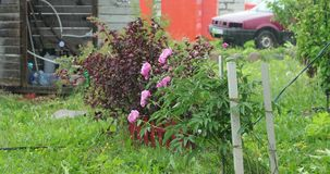 Flores y vegetación en la yarda y durante la lluvia almacen de metraje de vídeo