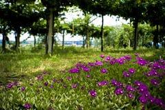 Flores y viñedo en Valpolicella, Italia de la uva imagen de archivo libre de regalías