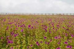Flores y x28; Impaciencia Lawii& x29; Imagen de archivo