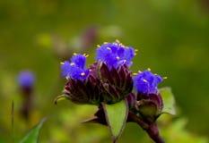Flores y x28; Tuberosa& x29 de Cynotis; Fotos de archivo libres de regalías